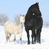 Svart häst och vitponny tillsammans Arkivfoto