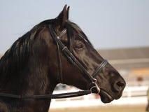 Svart hästHeadshot i tygel Royaltyfria Bilder