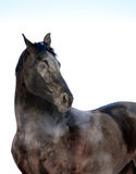 Svart hästståendeblick som isoleras tillbaka på vit Arkivbild