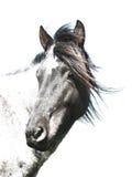 svart hästwhite Royaltyfria Bilder