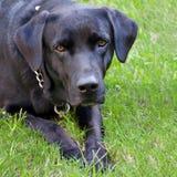 svart hund Royaltyfri Fotografi
