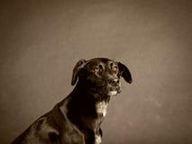 Svart hund (59) Royaltyfria Foton