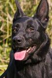 svart hund Royaltyfria Foton