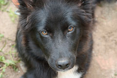 svart hund Arkivbild