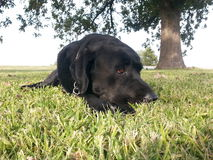 svart hund Royaltyfri Bild