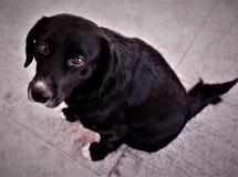 svart hund Fotografering för Bildbyråer