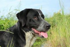 svart hund Royaltyfria Bilder