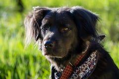 svart hund Arkivbilder