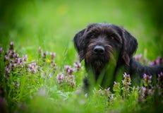 Svart hund Amy som poserar i våräng royaltyfri fotografi