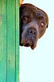 Svart hund Canne Corso Looking From dess hundkoja royaltyfri foto