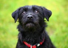 Svart hund för Closeup royaltyfri bild