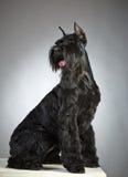 Svart hund för jätte- Schnauzer Arkivfoto