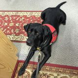 Svart hund för labbservice royaltyfria foton