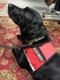 Svart hund för labbservice Royaltyfria Bilder