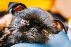 Svart hund Griffon Bruxellois (Bryssel, Belge) Royaltyfria Bilder
