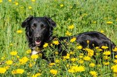 Svart hund i en äng av blommor Royaltyfri Bild