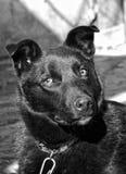 Svart hund i koppel Arkivbilder