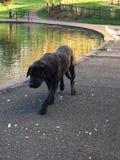 Svart hund i parkera arkivbild