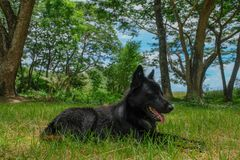 Svart hund i skogen arkivbilder
