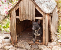 Svart hund i trähus Arkivbild