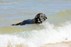 Svart hund i vattnet Royaltyfri Foto