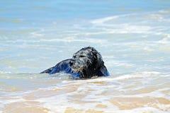 Svart hund i vattnet Arkivfoto