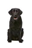 svart hund labrador Arkivfoton