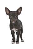 svart hund labrador Arkivfoto
