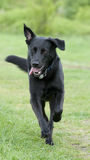 Svart hund (Labrador) som kör över en äng Royaltyfri Fotografi