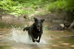 Svart hund (Labrador) som kör till och med vatten Arkivfoto
