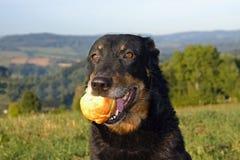 Svart hund med äpplet Royaltyfria Foton