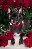 Svart hund med bandet och röd ros Royaltyfri Fotografi