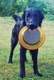 Svart hund med frisbeen Fotografering för Bildbyråer