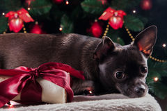 Svart hund med julbengåvan Royaltyfri Bild