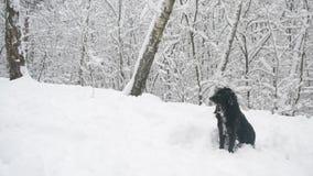Svart hund med kragesammanträde på insnöad skog stock video