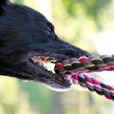 Svart hund med repet Royaltyfri Fotografi