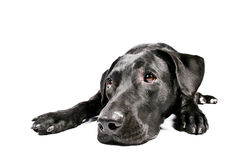 svart hund mig som ser SAD Arkivbilder