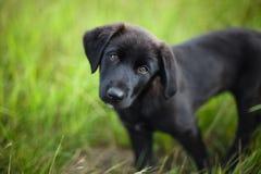 Svart hund på en bakgrund av grönt gräs Arkivfoto