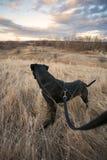 Svart hund på en koppel på parkera Arkivbild