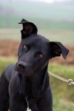 Svart hund på en ledning Arkivbilder