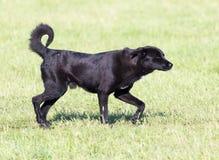 Svart hund på naturen Royaltyfri Foto