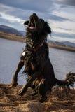 Svart hund på sjön Arkivbild