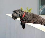 Svart hund på vakten Fotografering för Bildbyråer