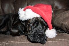 Svart hund som bär en santa hatt Royaltyfri Foto