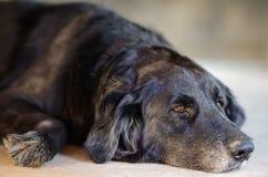 Svart hund som lägger ner på golvet Arkivbild
