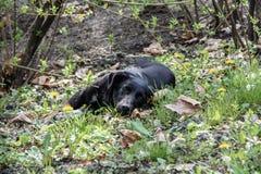 Svart hund som ligger i en parkera som omges av buskar Fotografering för Bildbyråer