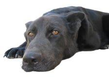 Svart hund som ligger på vit bakgrund royaltyfria bilder