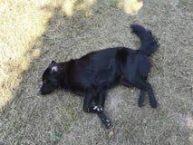 Svart hund som ner ligger på jordningen Royaltyfri Foto
