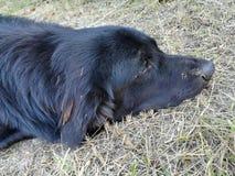 Svart hund som ner ligger på jordningen Royaltyfria Foton