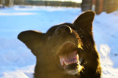Svart hund som poserar för kamera Royaltyfri Bild